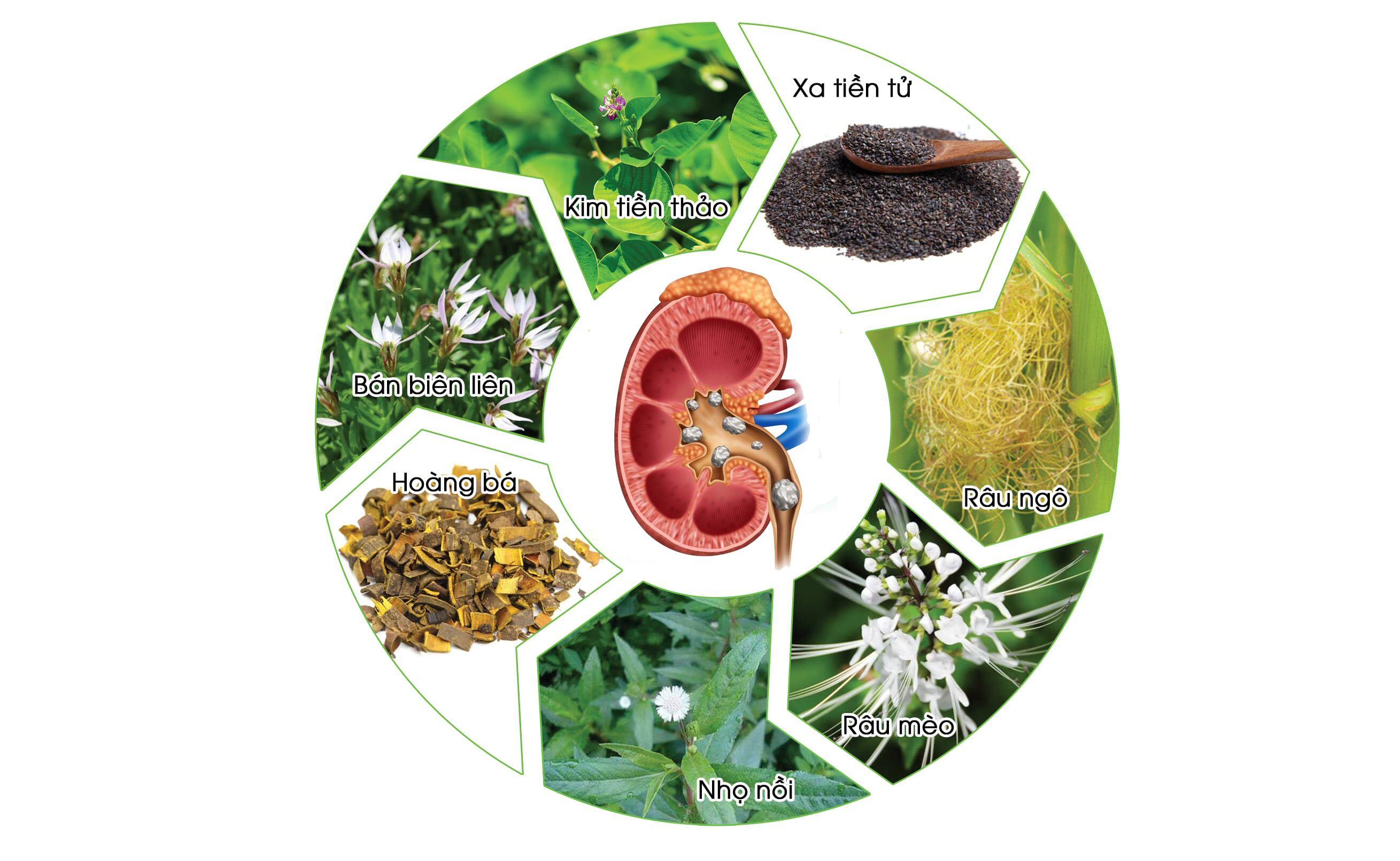 7 thảo dược quý dành cho người bệnh sỏi thận, sỏi tiết niệu
